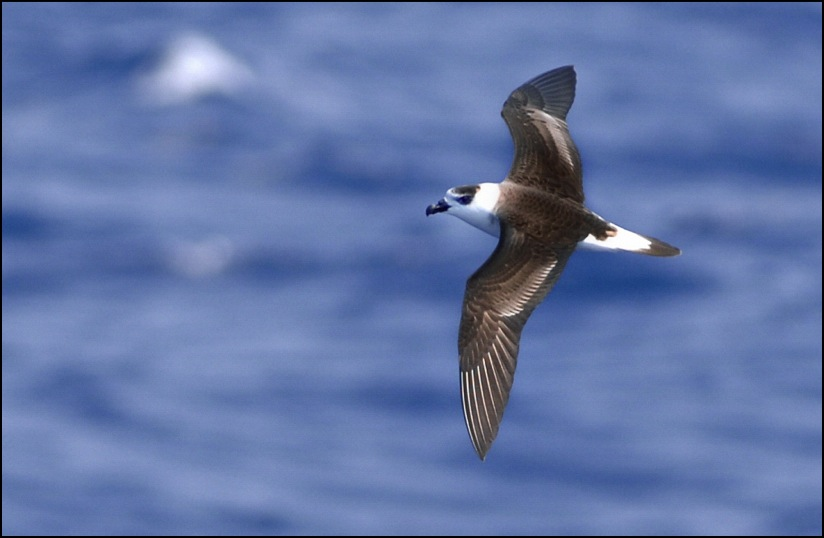 aaBlack-capped Petrel-Gulf Stream, off Cape Hatteras, NC,USA-d.